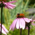 Flowers_Echinacea_vermont