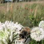 bee-on-clover